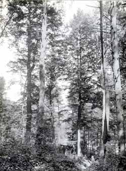 Original forests in Pennsylvania consisted of trees of a size rarely seen today. This 1923 photograph shows old growth trees on a small tract of land that was protected from logging. Note the comparative size of the man standing next to the tree, in the center of the photograph.