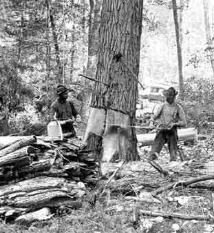 Two loggers at work taking down a giant Hemlock tree. Old growth Hemlock trees were often four feet in diameter.